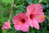 ピンクのハイビスカスの花
