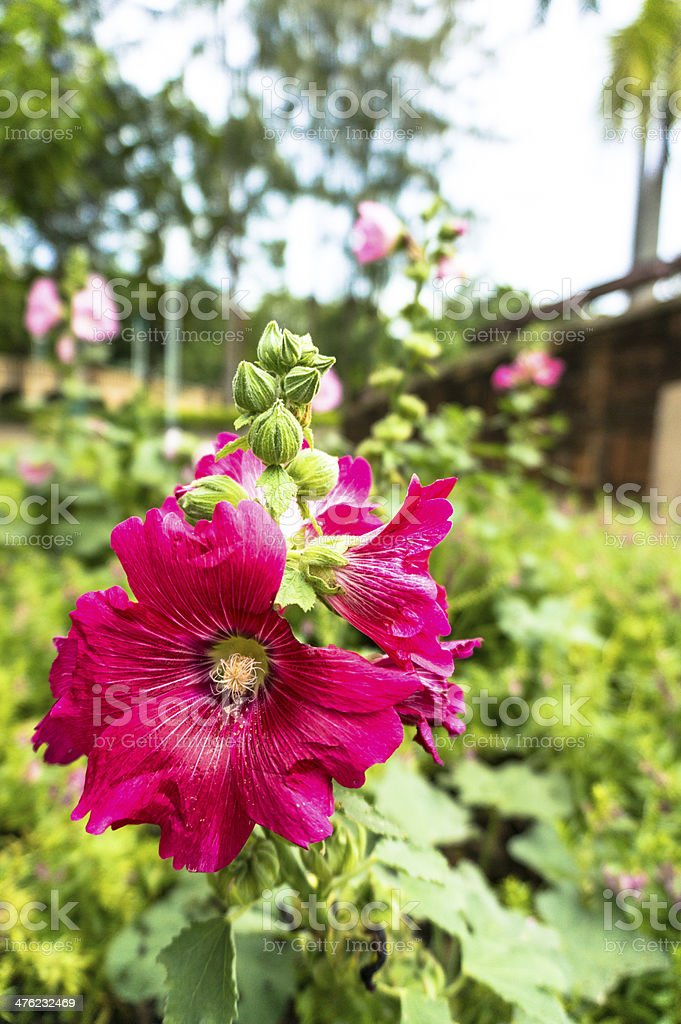 Pink hibiscus flowers. royalty-free stock photo