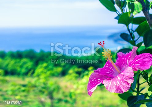 Pink tropical hibiscus flower growing in summer garden blue sea background