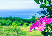 Pink tropical hibiscus flower growing in summer garden blue sea background