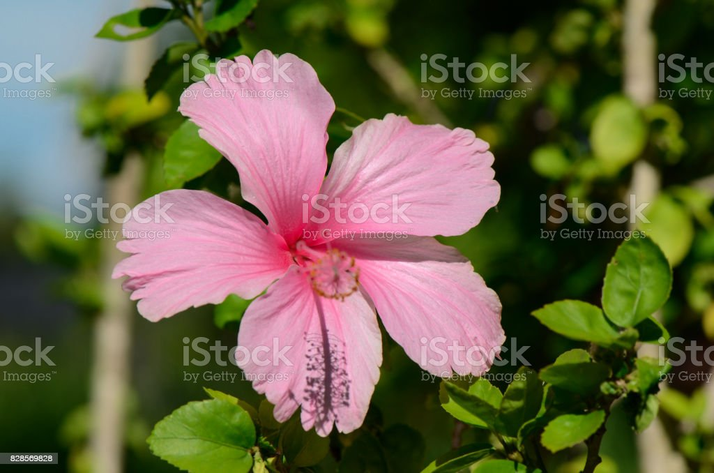 Pink Hibiscus on natural green background. stock photo