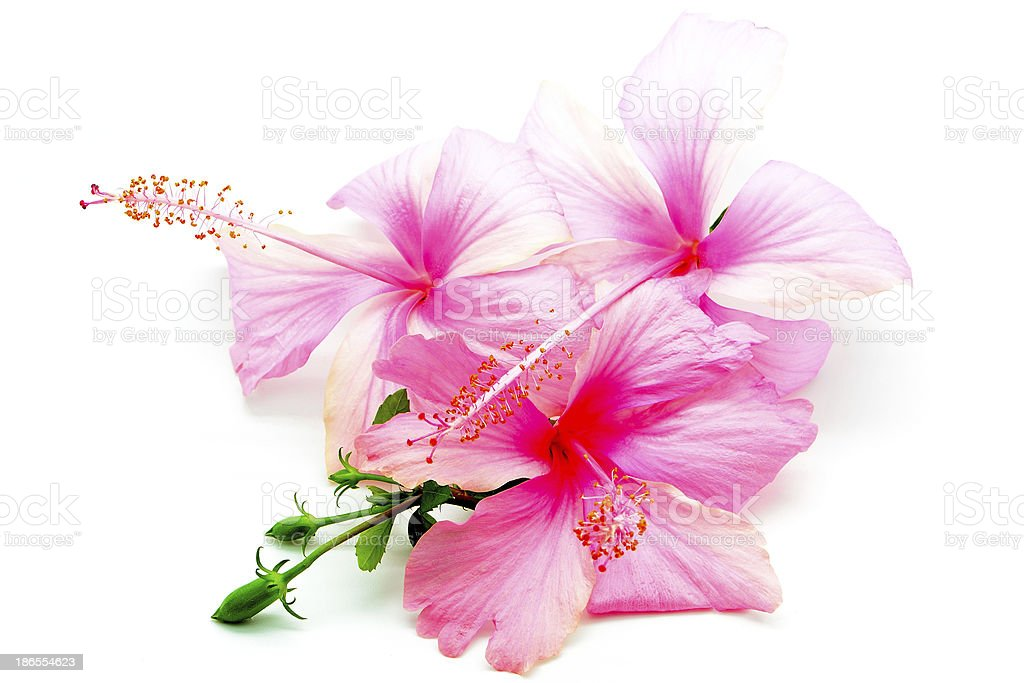 pink Hibiscus royalty-free stock photo