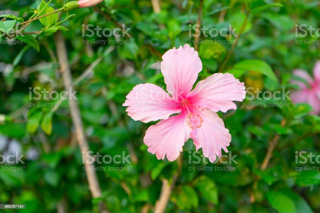 Pink hibiscus zbiór zdjęć royalty-free