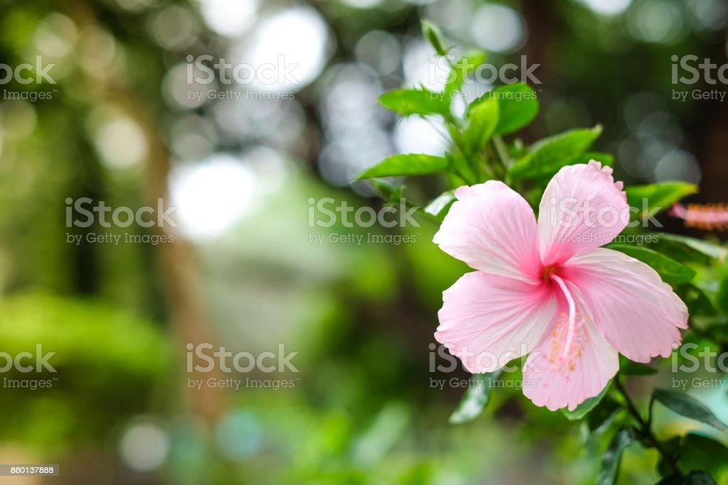 Photo libre de droit de Hibiscus Rose Avec Des Feuilles Vertes Qui ...