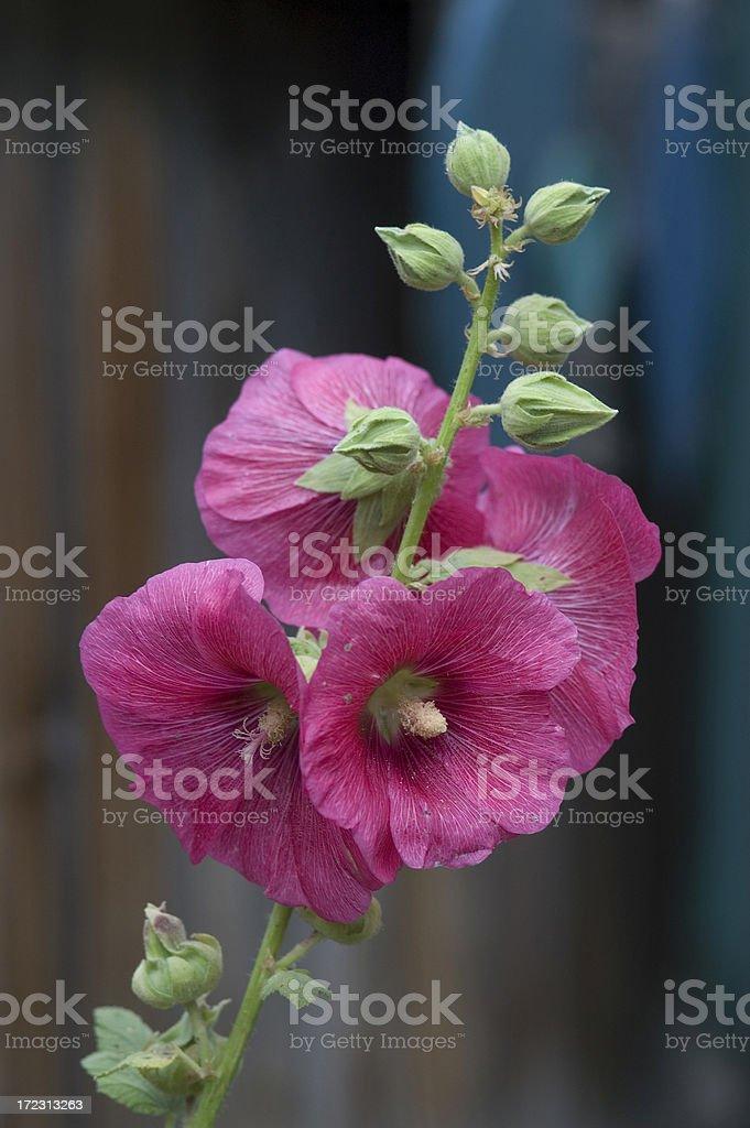 Pink Hollyhock, Alcea rosea stock photo