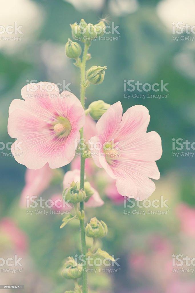 Pink hollyhock flower in garden stock photo