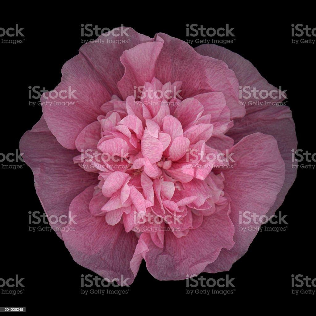 XXXL: Pink hollyhock isolated against black background stock photo