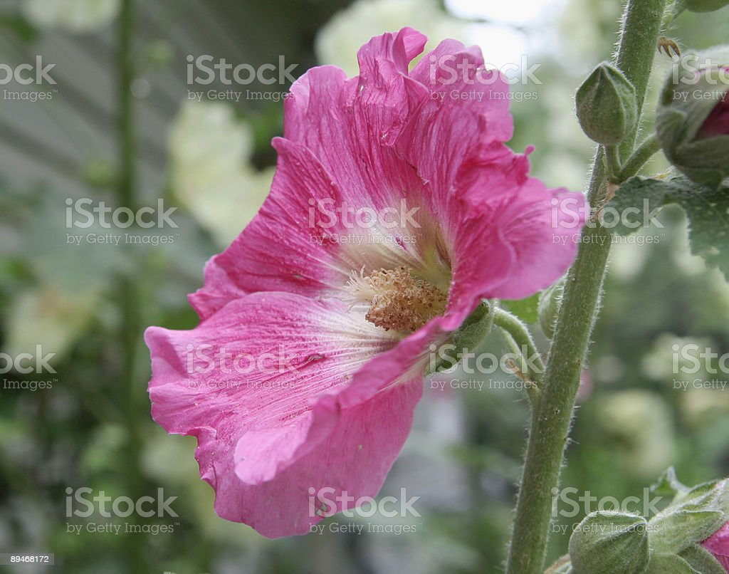 Pink Hollyhock royalty-free stock photo