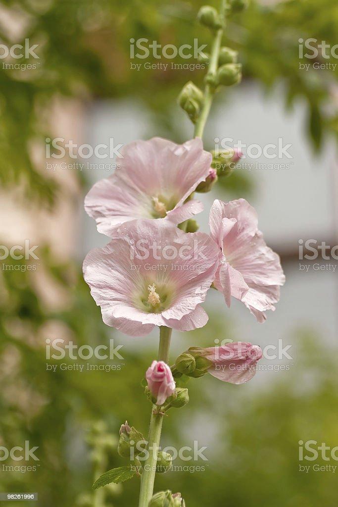 Rosa Malvone (Altee rosea foto stock royalty-free