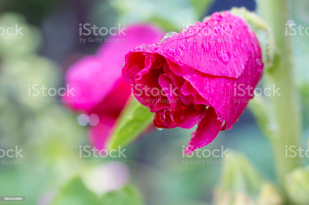 Pink Hollyhock with raindrops stock photo