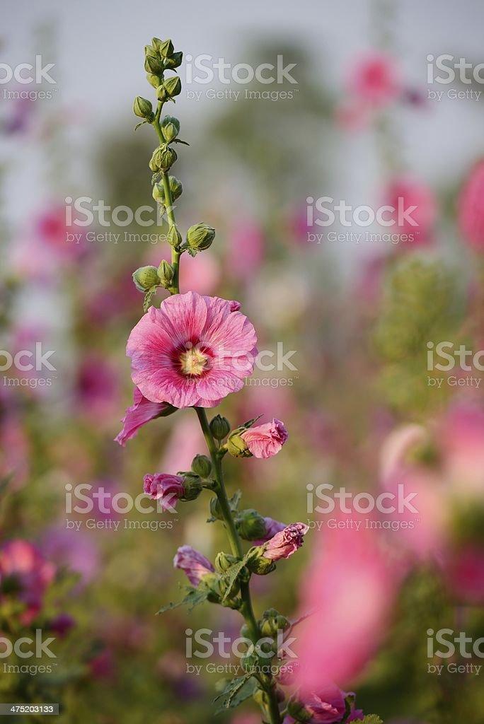 Pink Hollyhocks stock photo