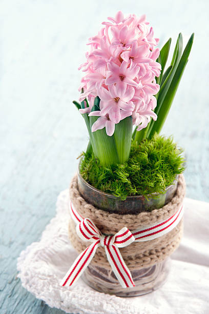 Pink hyacinth flower in a glass vase stock photo