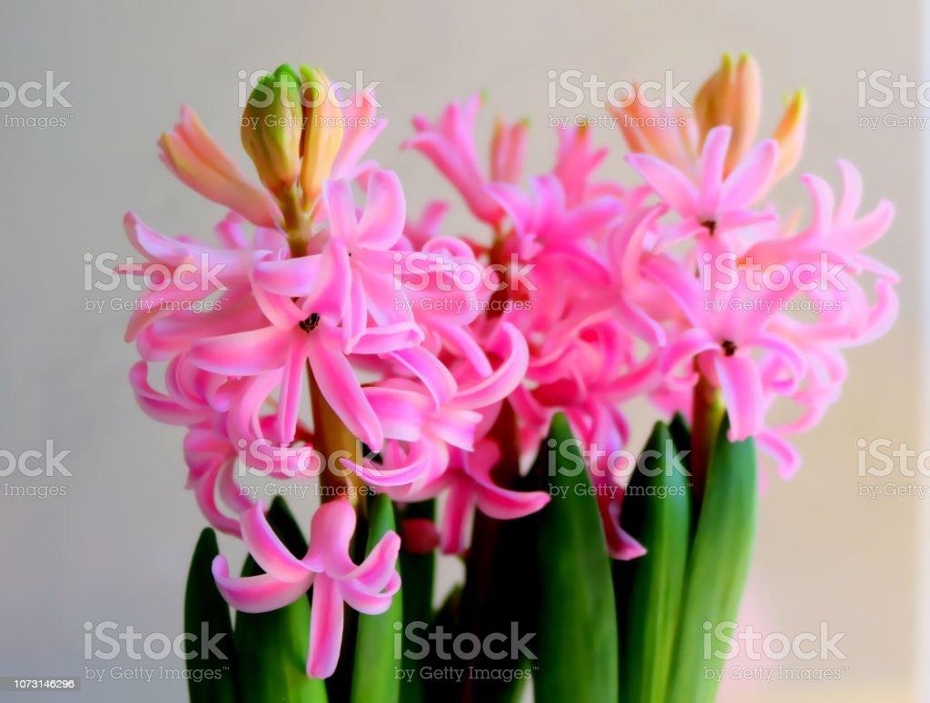 Rosa Hyazinthe in voller Blüte, Detail – Foto
