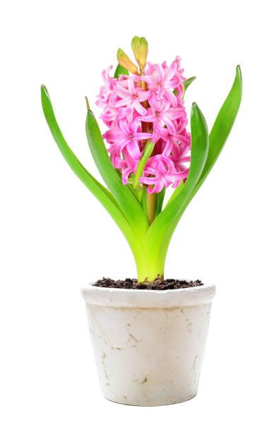 핑크 히아신스 흰색 배경의 - 히아신스 뉴스 사진 이미지