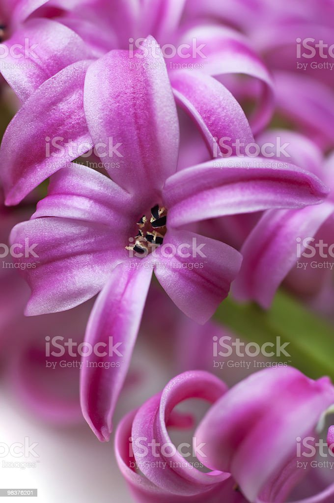 Pink hyacinth (macro) royalty-free stock photo