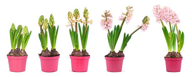 핑크 히아신스 단계 성장 - 히아신스 뉴스 사진 이미지