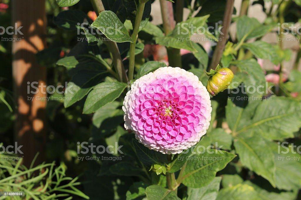Pink Hybrid Dahlia Franz Kafka Flower Stock Photo - Download Image Now