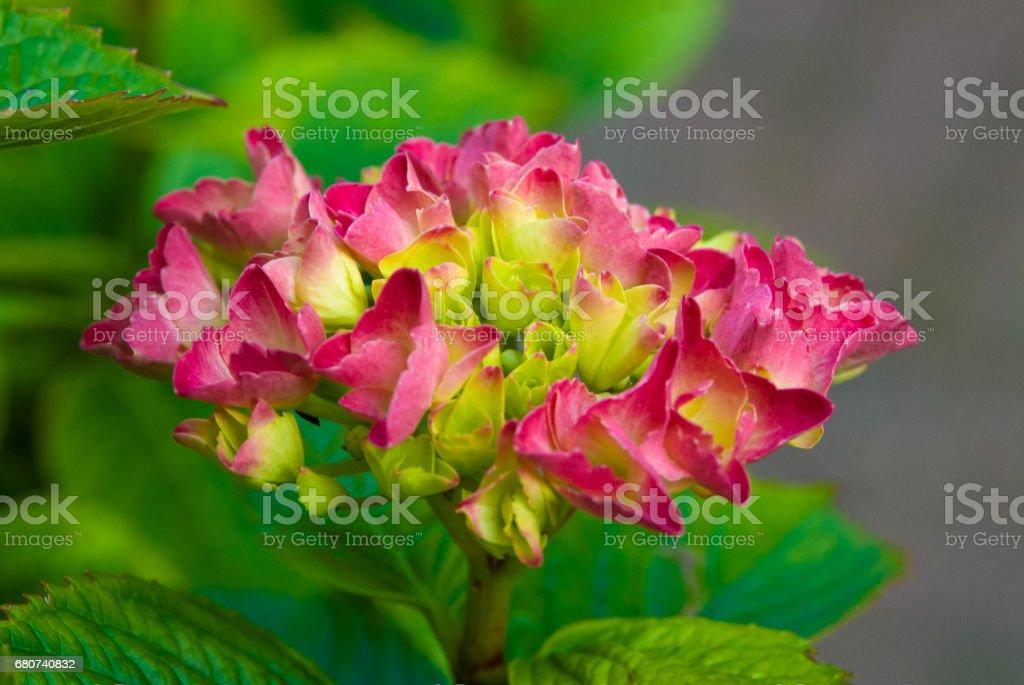 Pink hydrangea blossom flower fresh green  summer stock photo