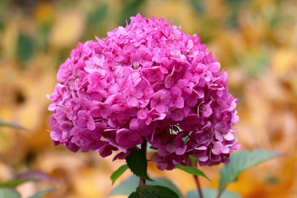 Pink Hydrangea Bouquet stock photo
