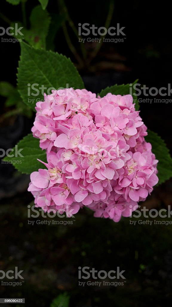 Pink Hydrangea Flower Blooming royalty-free stock photo