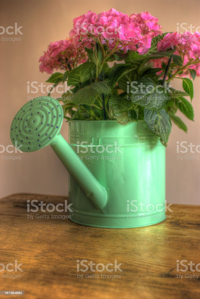 Pink Hydrangea in green watering can royalty-free stock photo