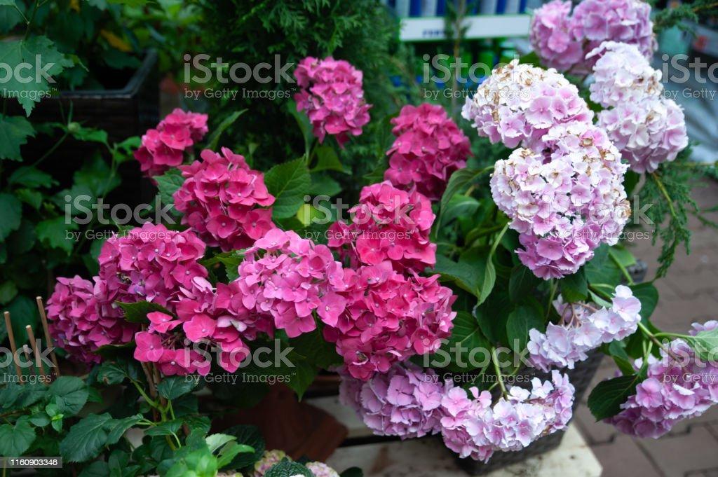 Pink hydrangea in pots in a shop, flower shop, gardening