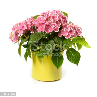 Blooms of hydrangea plant isolated lon white background