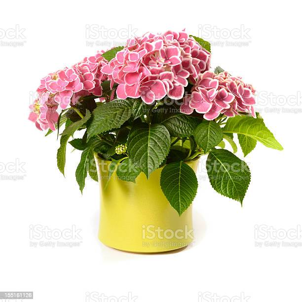 Pink hydrangea in yellow pot isolated on white picture id155161126?b=1&k=6&m=155161126&s=612x612&h=bxwymtzmtikebqhhhothsvprozblgw o j9q3a0pxne=