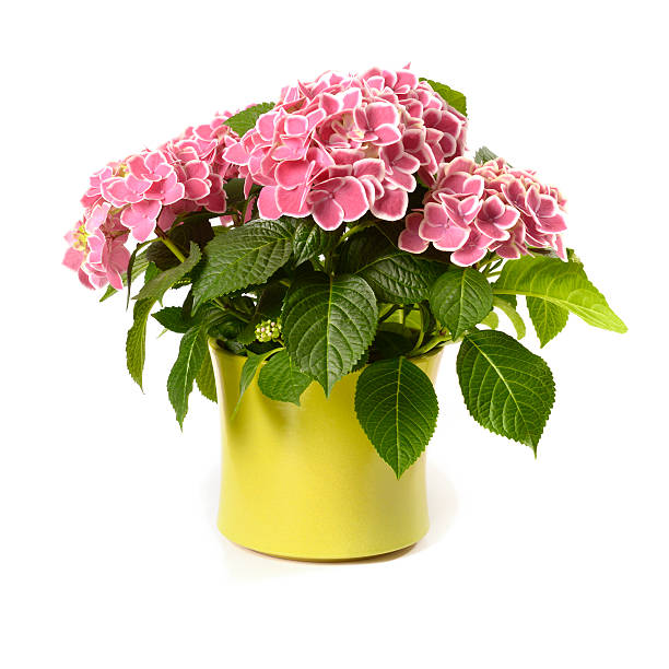 Pink hydrangea in yellow pot isolated on white picture id155161126?b=1&k=6&m=155161126&s=612x612&w=0&h=859uezr 3rjo6mljzhqtqdgyelfifbx5yfec2warkho=