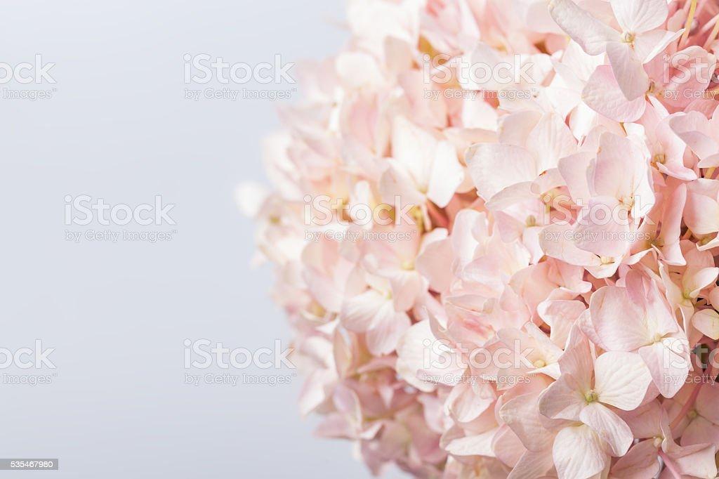 Pink Hydrangea macrophylla macro shot with white background stock photo