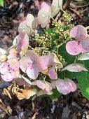 Oak leaf hydrangea in sunshine