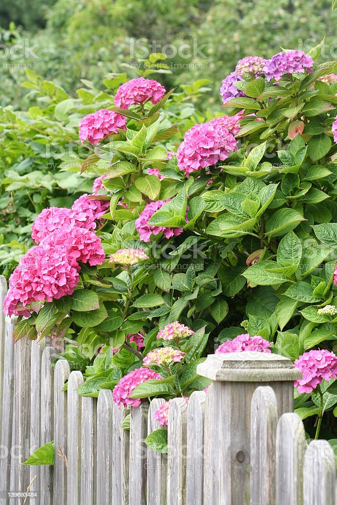 Pink hydrangea royalty-free stock photo