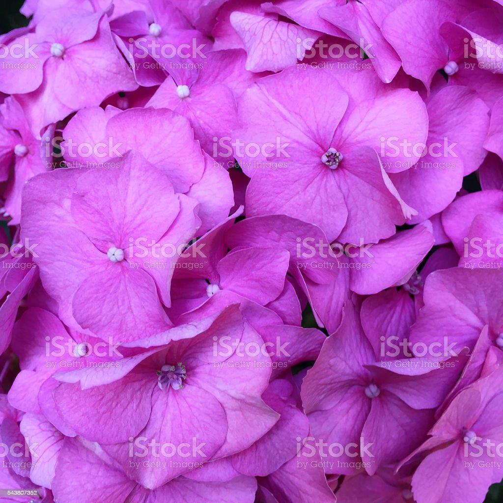 Pink Hydrangea stock photo