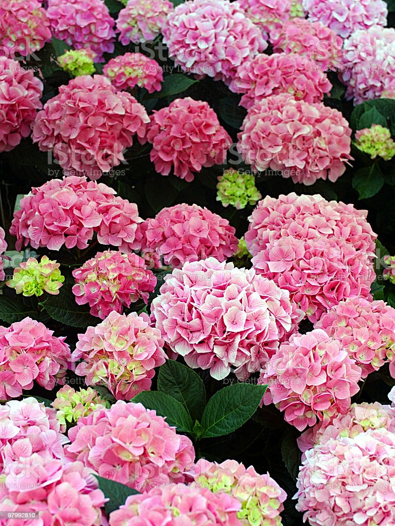 Pink Hydrangea Plant royalty-free stock photo