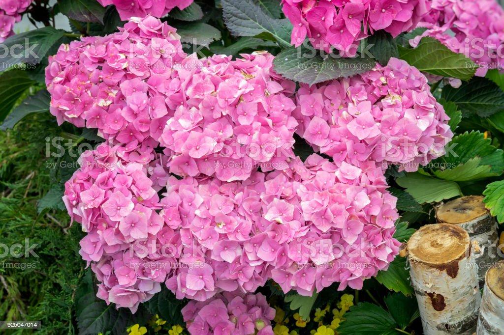 Pink hydrangeas flowers, hydrangea macrophylla, hortensia, popular...