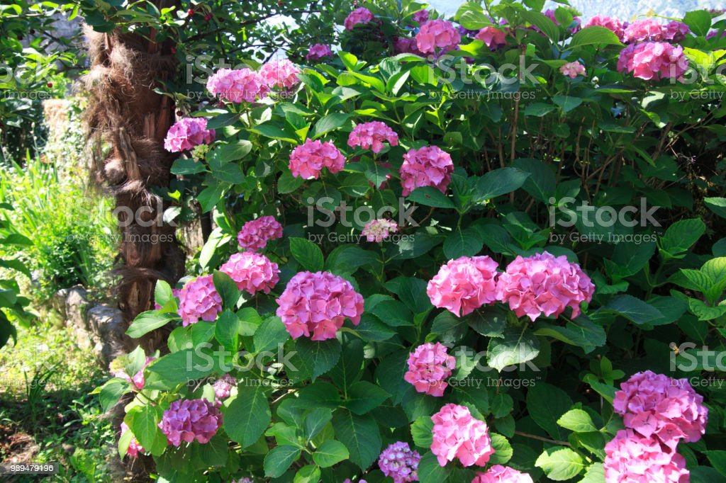 Pink hydrangeas in the garden. stock photo