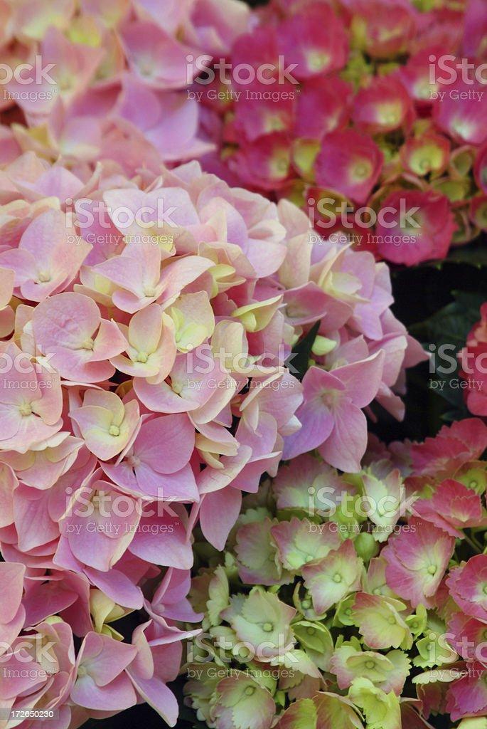 pink hydrangeas royalty-free stock photo