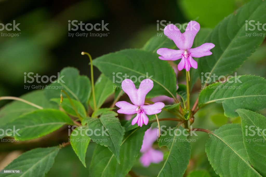 Pink Impatiens flower, Kinabalu balsam growing and endemic to island of Borneo Malaysia stock photo