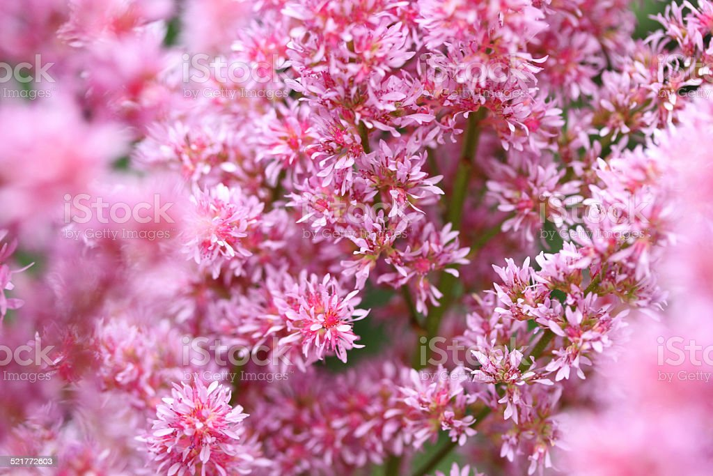 Pink in bloom stock photo