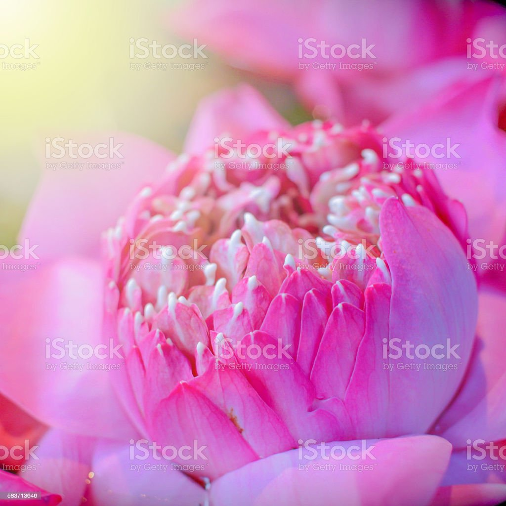 Pink Indian Lotus Background Stock Photo More Pictures Of Arts