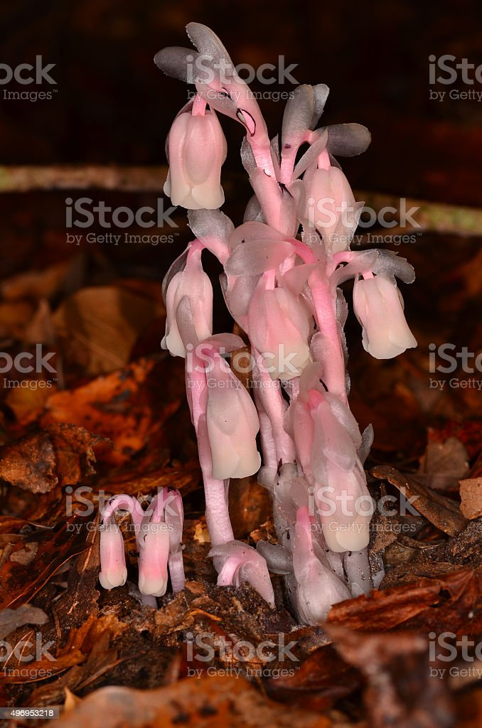 Pink Indian Pipes cluster growing in leaf litter stock photo