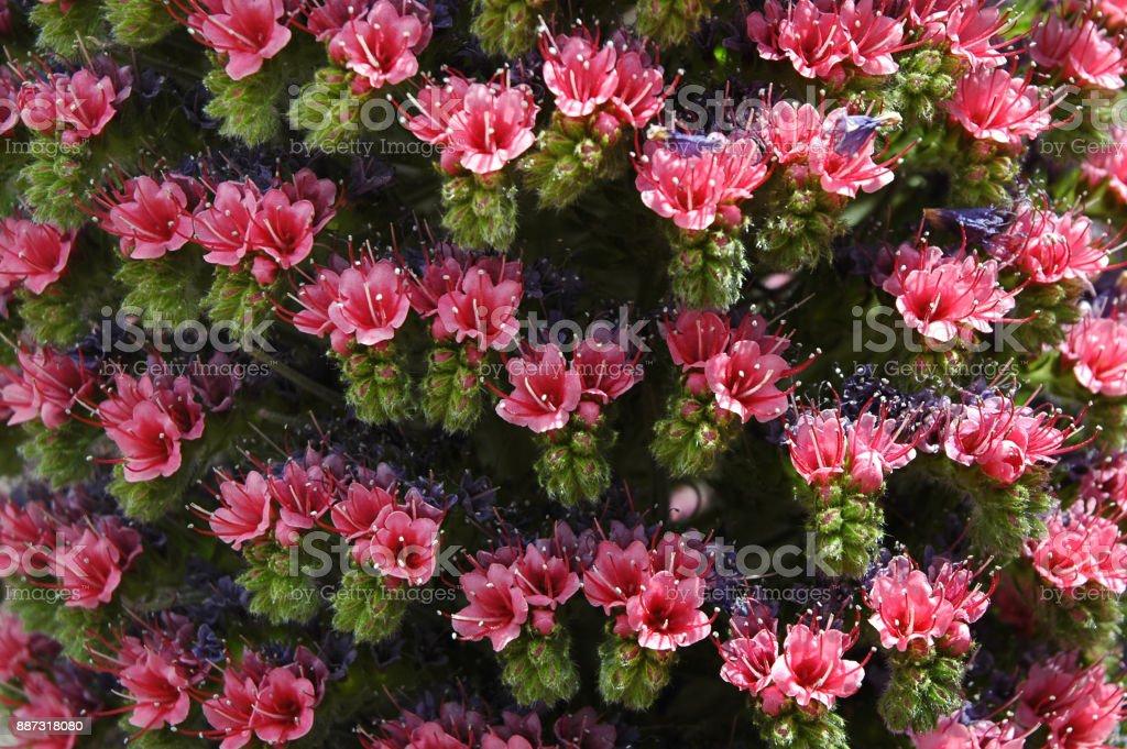 Inflorescencia rosada de Echium Wildpretii o Tajinaste rojo flor - foto de stock