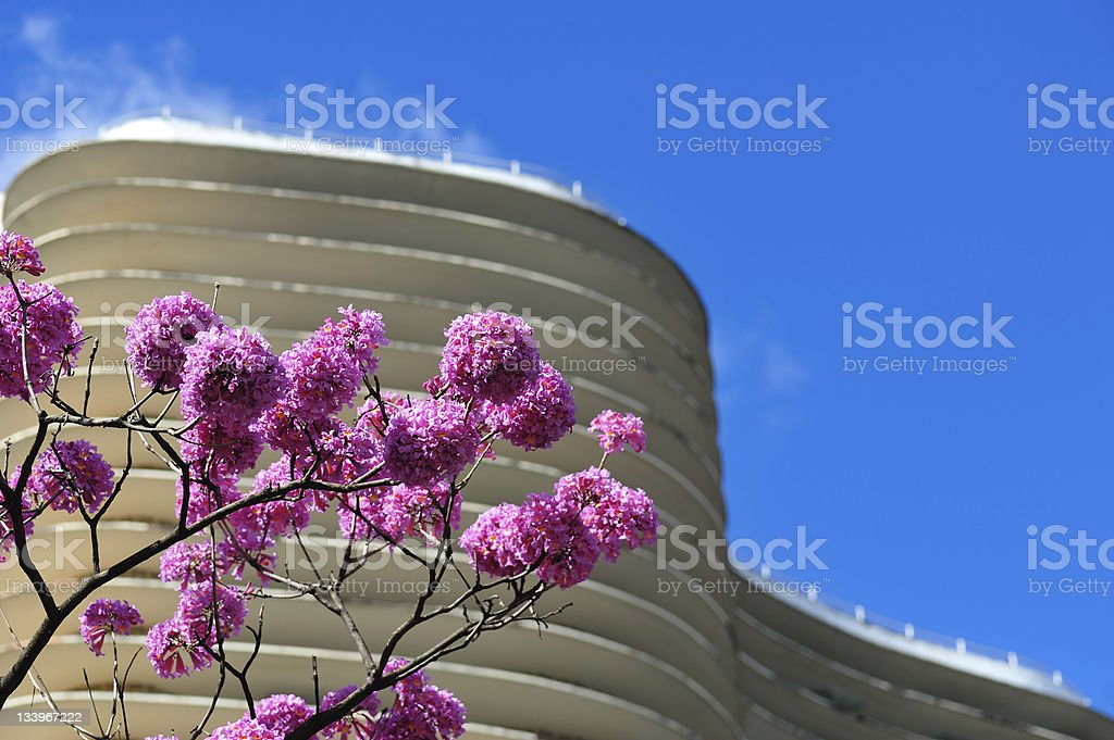 Pink Ipe blossoms in front of a building stock photo