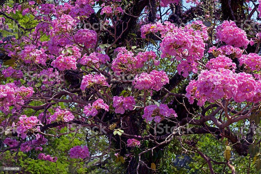 Pink ipe or pink lapacho Стоковые фото Стоковая фотография