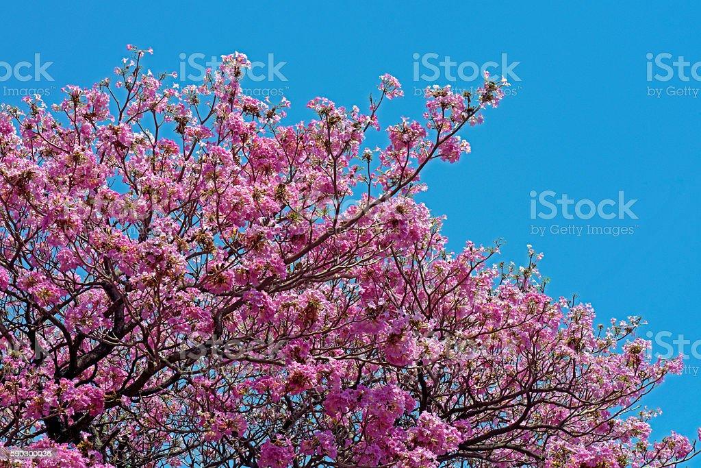 Pink ipe or pink lapacho royaltyfri bildbanksbilder