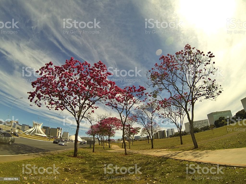 Pink Ipes at Brasilia, Brazil stock photo
