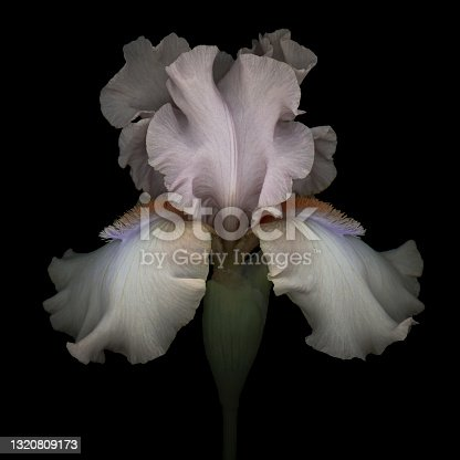 istock Pink iris isolated on black background 1320809173