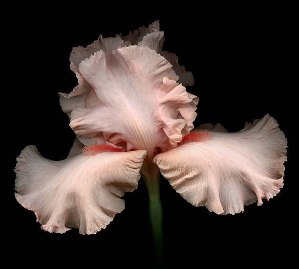 pink iris isolated on black - iris plant stockfoto's en -beelden