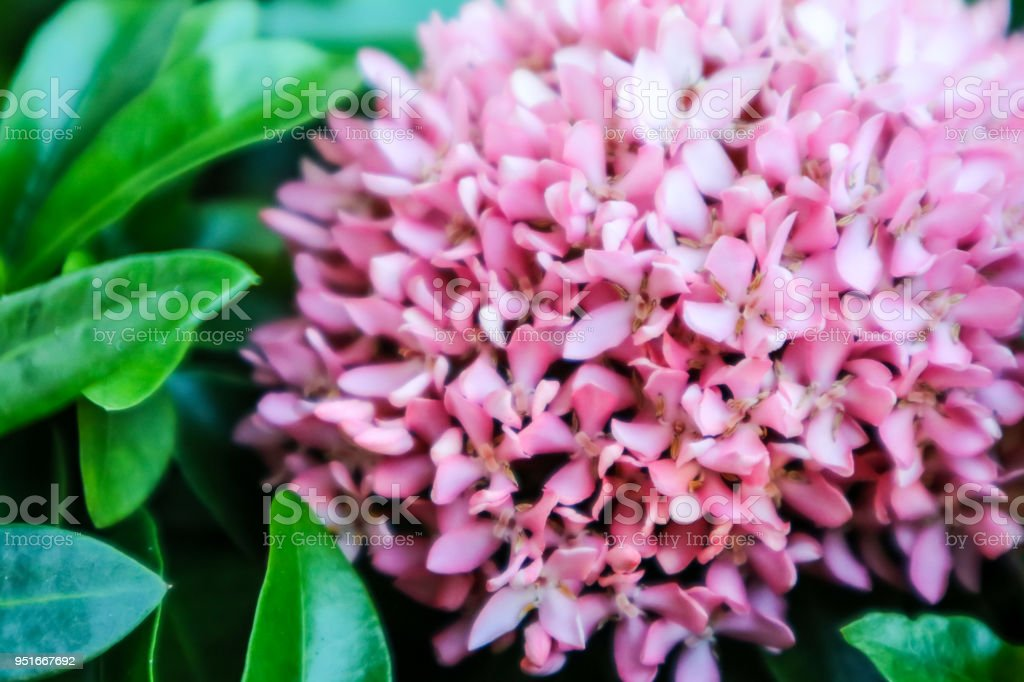 Pink ixora flower boutique spike bloom in the garden stock photo pink ixora flower boutique spike bloom in the garden royalty free stock photo mightylinksfo