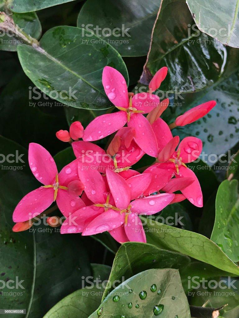 Rosa Ixora blommor. - Royaltyfri Beskrivande färg Bildbanksbilder